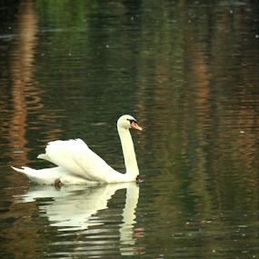 SWAN by Amit Sen - Animals Birds