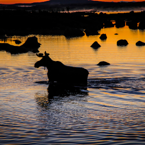 Moose at Dawn by Eugene Ball - Animals Other Mammals ( dawn, silhouette, moose, sunrise, deer )