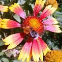 Rudbeckia bicolor