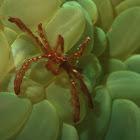 Orang Utan Crab