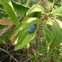 Pea Blue