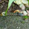 Tropical armyworm caterpillar