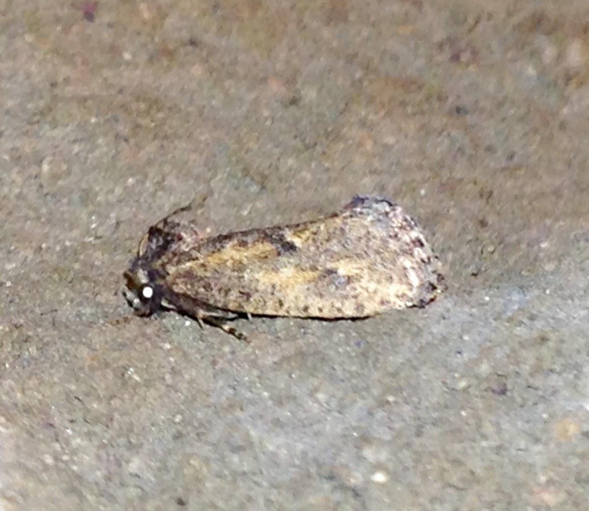 Acrolophus Moth