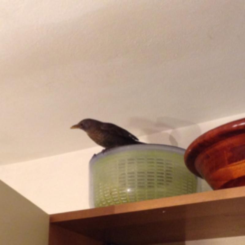Merla (Italiano), European blackbird