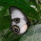 silky owl butterfly