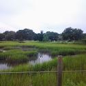 Saw Grass