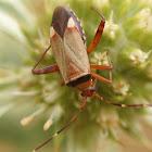 Adelphocoris vandalicus
