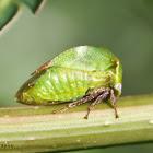 Buffalo Treehopper