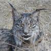 Iberian lynx