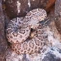 Wester diamondback rattlesnake