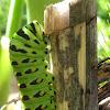 Anise Swallowtail Caterpillar Preparing to Pupate