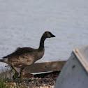 Canada Goose (Fledgling)