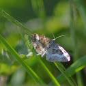 Geometridae,Larentinae