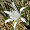 Sea daffodil (Κρινάκι της θάλασσας)