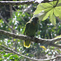 Red-necked Parrot/Jaco Parrot
