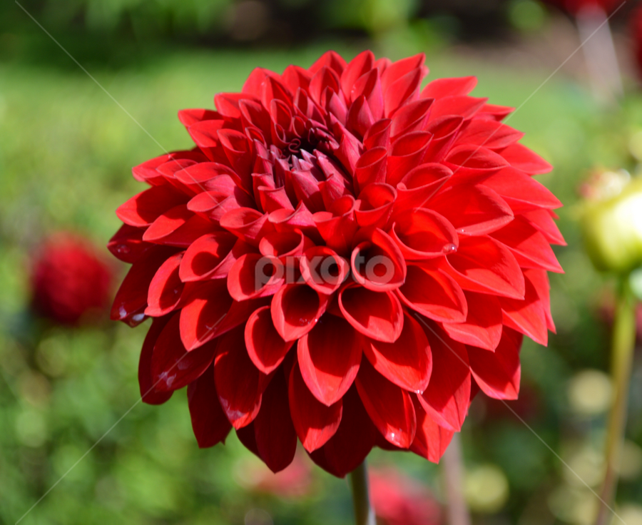 by Iain Weatherley - Flowers Single Flower ( red flower, single flower, flower,  )