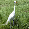 The GreatEgret