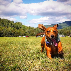 Ollie diggin' Marcy Field!  by Kim Verstringhe - Animals - Dogs Running
