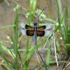Widow Skimmer Dragonfly (male)