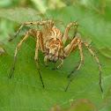Lynx Spider (aka Spiny:)  ♀