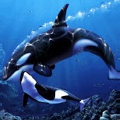 Orcas Mother n Son Under Sea