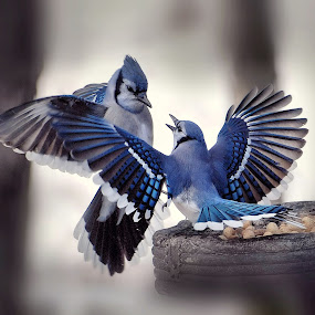 The Guardian by Liz Crono - Animals Birds ( blue, wings, blue jays, birds )