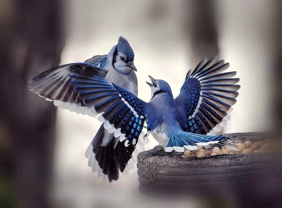 The Guardian by Liz Crono - Animals Birds ( blue, wings, blue jays, birds )