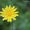 Pissenlit commun / Dandelion