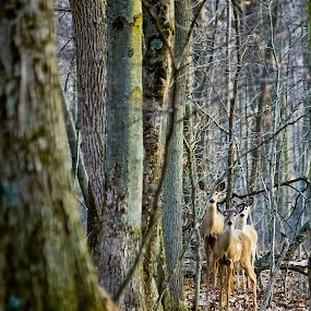 The Curious Three by Chip Ormsby - Animals Other ( 3, michigan, tree, moss, three, forest, woods, pure michigan, deer )