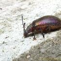 Black Darkling Beetle
