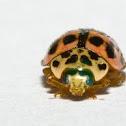 Japanese ladybug