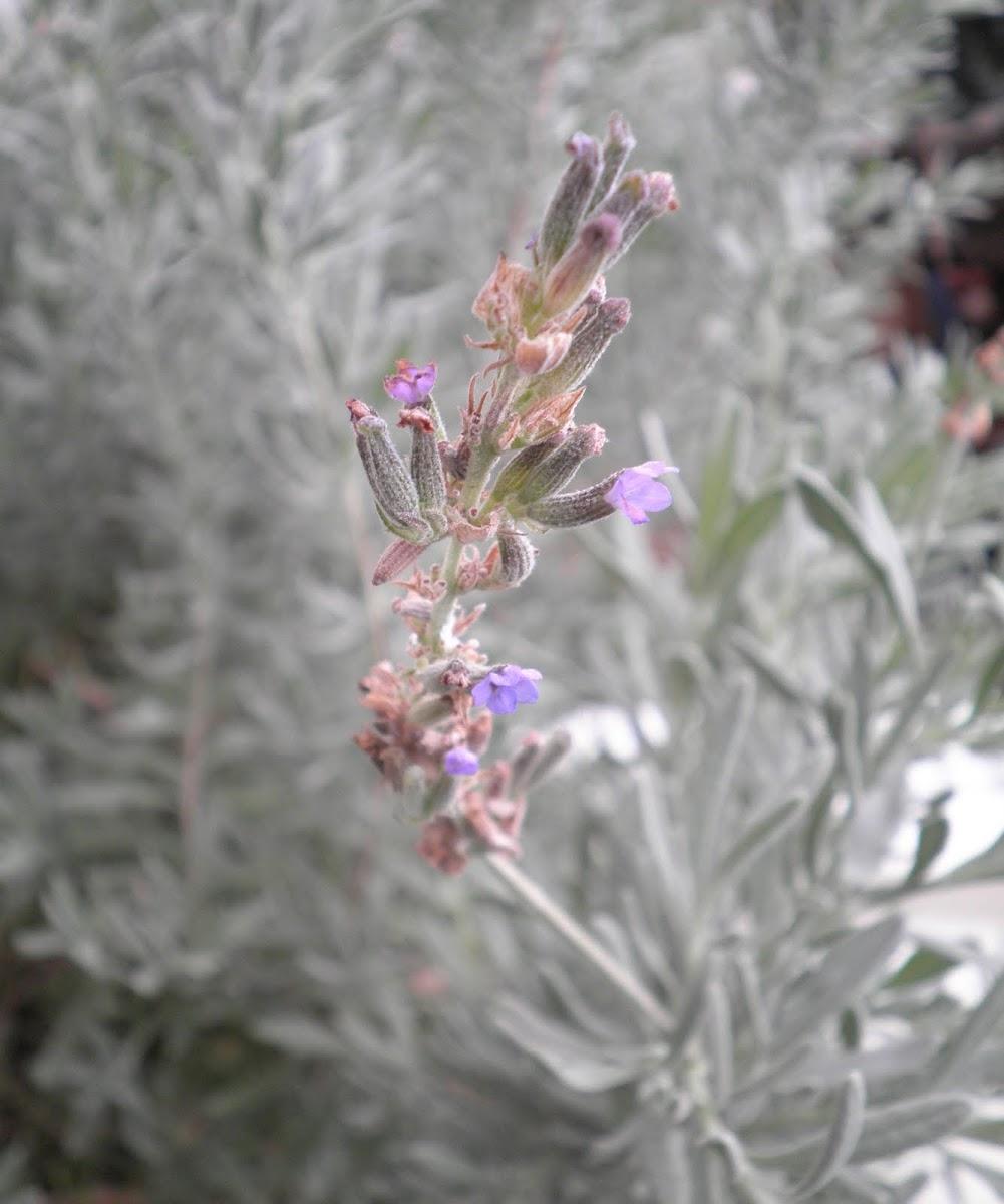 Lavandula angustifolia. Lavandula fina, vera u officinalis