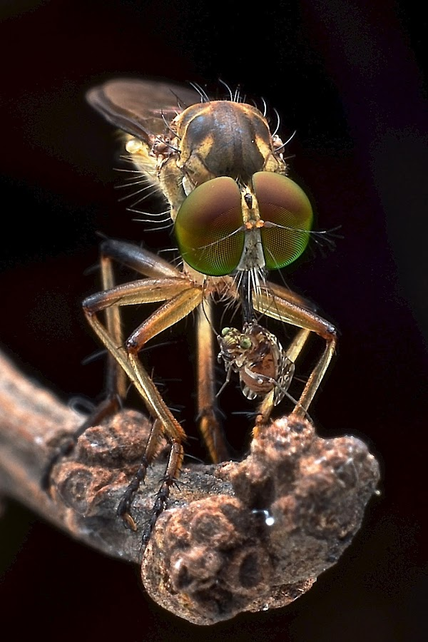the Robot fly - Asilidae by Herman Wong - Animals Insects & Spiders
