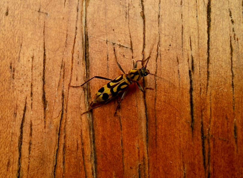 Bamboo Longhorned Beetle