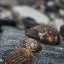 Loco / Chilean Abalone