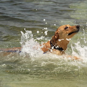 cooling down by Carmel Bation - Uncategorized All Uncategorized ( water, canine, pet, sea, dog, swimming )