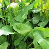 Calla Lily (Green Goddess)