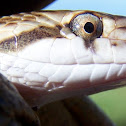 Kansas Glossy Snake