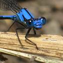 Libélula Azul.