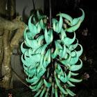 Jade vine / kuku macan ( Idonesia )