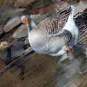 Pilgrim Goose Gander