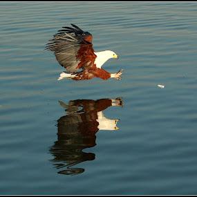 Fish eagle by Amanda Swanepoel - Uncategorized All Uncategorized ( , bird, fly, flight )