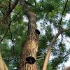Ash bracket fungus