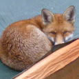 Urban Foxes of London vs Country Foxes