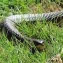 Western Tiger Snake