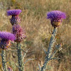 Illyrian Cottonthistle