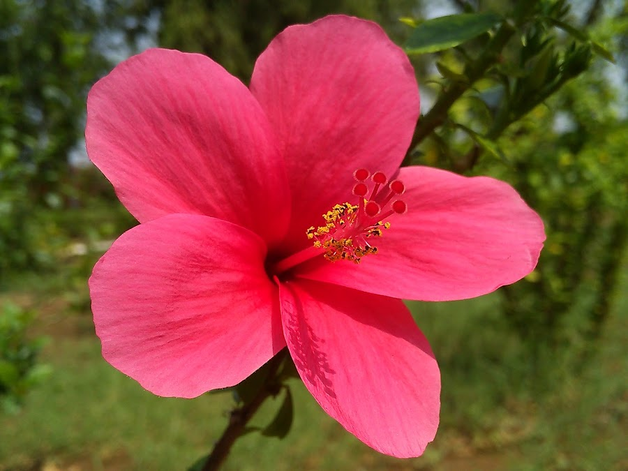 Pink Hibiscus ! by Darshan Trivedi - Instagram & Mobile Android ( colour, hibiscus, nature, beautiful, lovely, pink, flower )