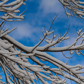 Beautiful Snow-Covered Branches Against A Blue Sky by Maureen McDonald - Nature Up Close Trees & Bushes ( blue sky, november 2014, first snow nov 2014, snow, snow covered branch, northern kentucky, , winter, cold )