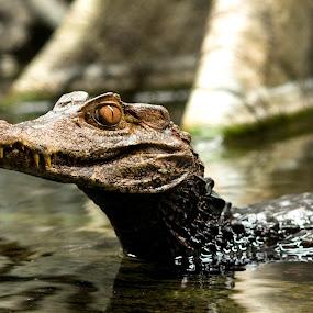 Watching by Bonnie Filipkowski - Animals Reptiles ( zoo, caiman, crocodile, alligator, reptile,  )