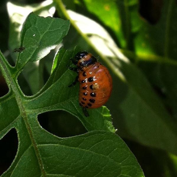 Colorado Potato Beetle Larvae   Project Noah